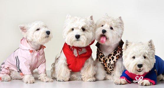 четыре миниатюрные белые собачки в костюмах